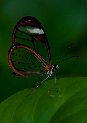 Glasswing butterfly, Belize © 2014 Diane Kelsay
