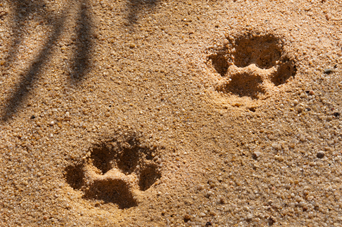 Jaguar prints, Belize © 2014 Diane Kelsay