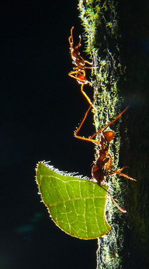 Leaf cutter ants, Belize © 2014 Bob Harvey