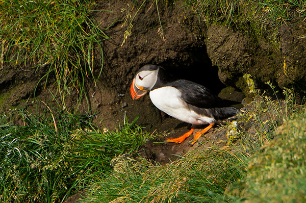 A young puffin emerges from the burrow. © 2014 Diane Kelsay