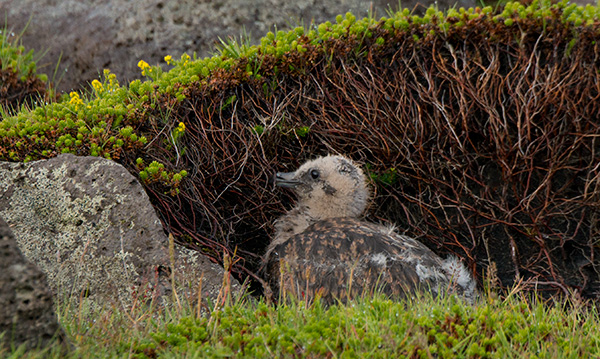 Great skua chick © 2014 Diane Kelsay