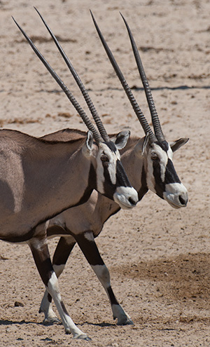 Oryx © 2014 Bob Harvey