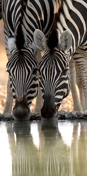 Zebras at the waterhole © 2014 Bob Harvey