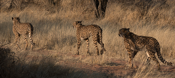 Following cheetahs © 2014 Diane Kelsay