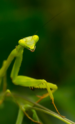 Praying mantis © 2014 Bob Harvey
