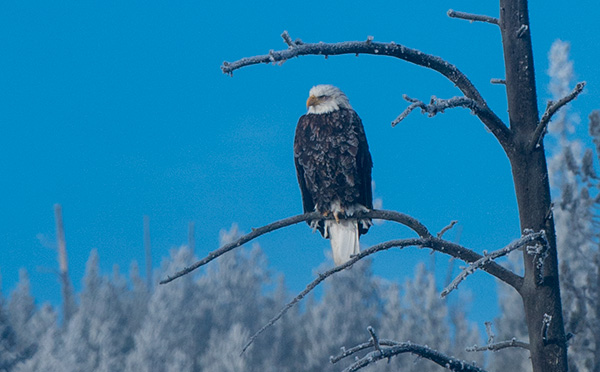 Bald eagle © 2015 Bob Harvey