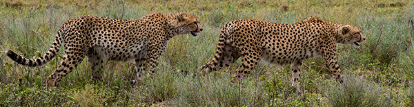 Cheetah brothers stalk a lost Wildebeest baby, and then together jump into a charge. © 2015 Diane Kelsay