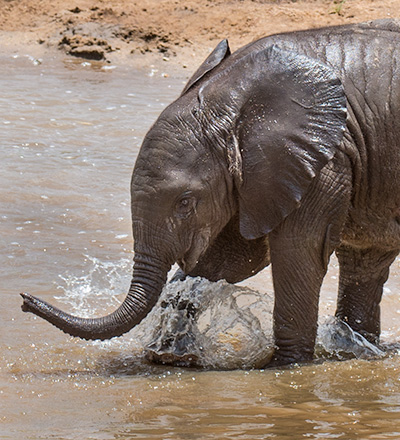 Baby elephant © 2015 Bob Harvey