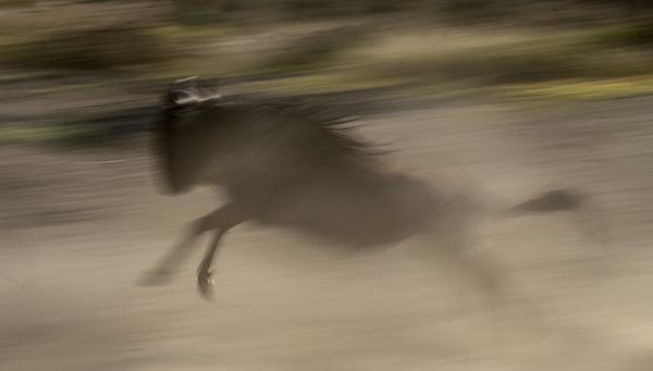 Wildebeest running hard, panning at 1/30 second. © 2015 Diane Kelsay