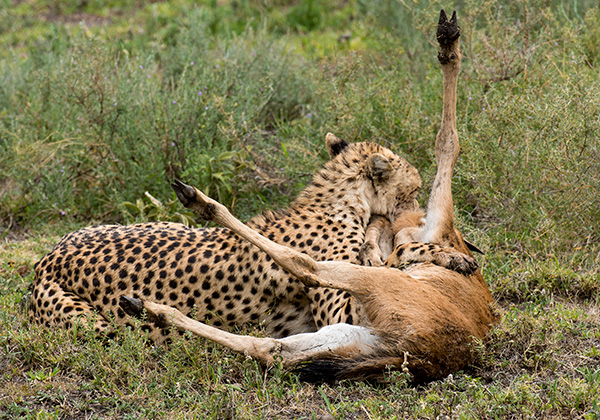 Only one of the cheetahs will make the kill.  The other will return to eat. © 2015 Diane Kelsay