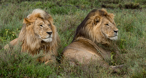 Lions resting, or as much as they can with flies bothering them. © 2015 Diane Kelsay