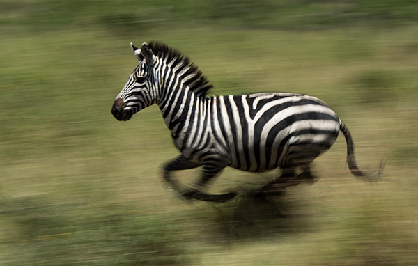Panning a zebra at 1/30 second. © 2015 Diane Kelsay