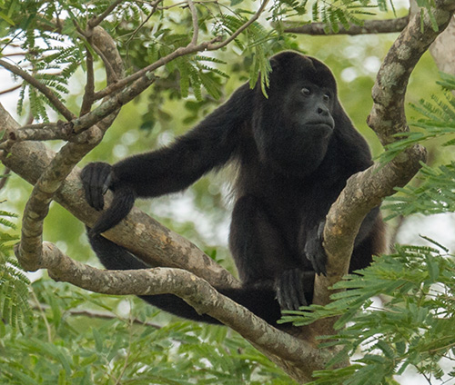 Black Howler monkey © 2015 Bob Harvey