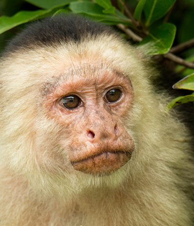 Capuchin monkey, Palo Verde National Park © 2015 Bob Harvey