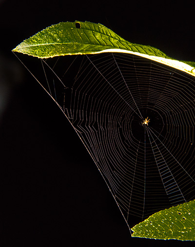 Web, invisible without light at perfect angle. © 2015 Bob Harvey