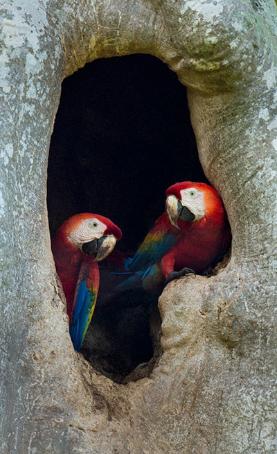 Macaw nest © 2015 Bob Harvey