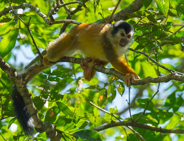 Squirrel monkey © 2015 Bob Harvey