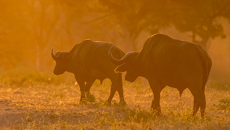 Cape buffalo © 2016 Bob Harvey