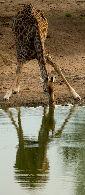 Giraffe drinking - a very vulnerable time, given the position they take. They drink cautiously. © 2016 Bob Harvey