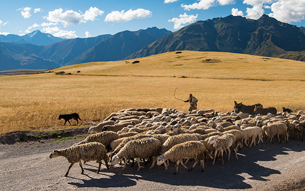 Sheep herding, Sacred Valley © 2016 Diane Kelsay