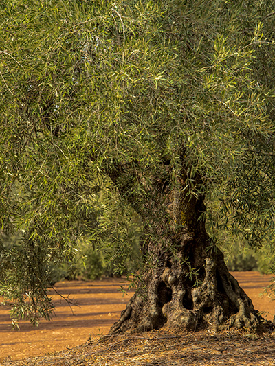 Very old olive tree © 2016 Bob Harvey